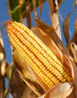 Cellulosic Ethanol Tougher Than Ethanol from Maize Kernels - iStockPhoto