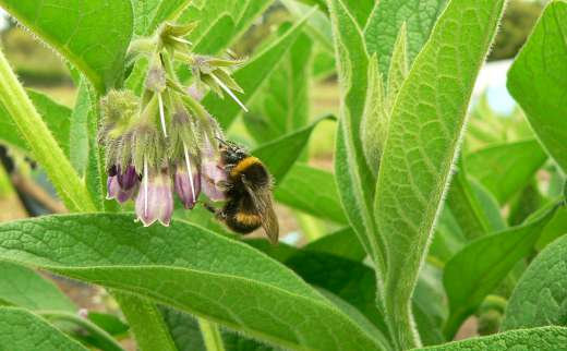 Permaculture Principles Reflected In Bee and Comfrey