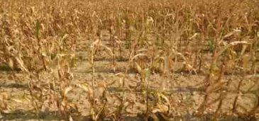 Extreme Weather Showing Drought-Affected Corn - iStockPhoto