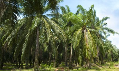 Renewable Energy News in Increasing Palm Oil Plantations - iStockPhoto