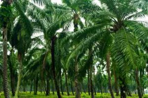 Biofuel From Palm Oil Plantations Like This One - iStockPhoto