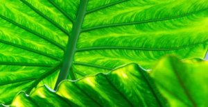 Healthy Photosynthesising Tropical Leaves - iStockPhoto