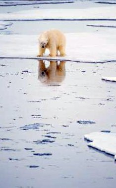 Recent News on Global Warming has included polar bears stranded on ice flows - iStockPhoto