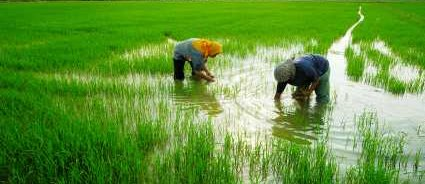 Greenhouse Gases MethaneFrom Rice Paddy Farming - iStockPhoto