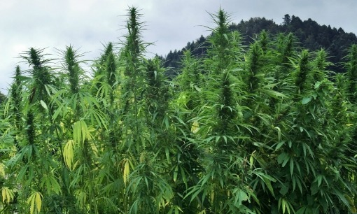 Industrial Hemp Growing in German field for purposes such as hempcrete - iStockPhoto