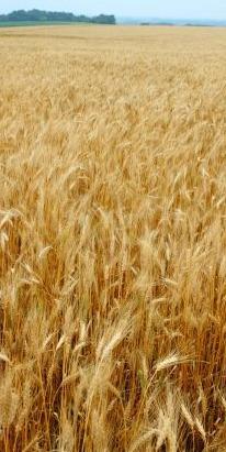 Wheatfield in Mid-West - iStockPhoto