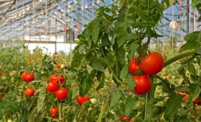 Greenhouse Effect Seen In Glasshouse with Tomatoes - iStockPhoto